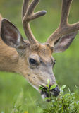 Red deer head with green background. Jasper. Canada Royalty Free Stock Photo
