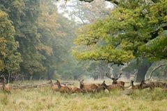 Red deer herd in autumn Stock Photography