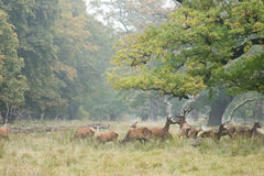 Red deer herd in autumn Stock Photography