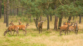 Red deer herd with belling stag Stock Images