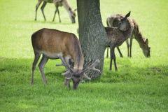 Red deer herd cervus elaphus grazing in field near tree Royalty Free Stock Photo