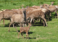 Red Deer Herd & Fawn Royalty Free Stock Image