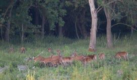 Red deer herd in forest Stock Photos