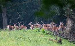 Red deer herd in forest Stock Photography