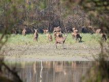 Red deer herd grazing Stock Image