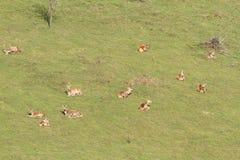 Red deer herd relaxing Stock Image
