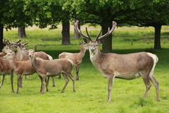 Red Deer Herd Royalty Free Stock Images