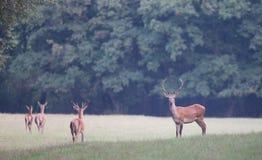 Red deer herd Stock Photography