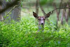 Red deer hidden in the forest Stock Photos