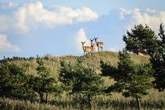 Red deer on hillside Stock Photo