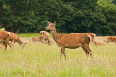 Red Deer hind Royalty Free Stock Image