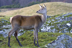 Red Deer Hind Stock Images