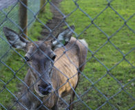 Red deer hind Royalty Free Stock Images