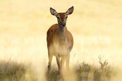 Red deer hind closeup Stock Image