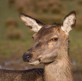 Red deer hind Stock Photos