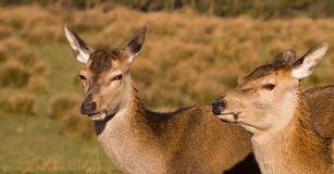 Red deer hind. Eyes having lunch stock photos