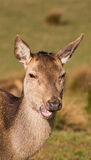 Red deer hind. Eyes having lunch royalty free stock images