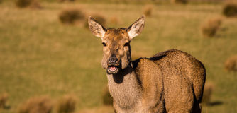 Red deer hind. Eyes having lunch stock photography