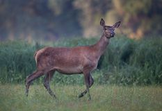 Red deer hind in forest Royalty Free Stock Photo