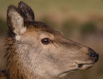 Red deer hind. Having lunch royalty free stock images