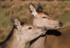 Red deer hind. Having some loving royalty free stock image