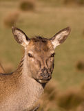 Red deer hind. Having some sun stock image