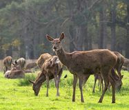 Red Deer Hind and Herd Stock Photos
