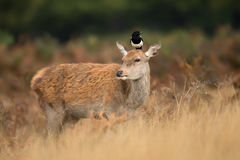 Red deer hind with a magpie on her head Royalty Free Stock Photo