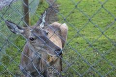Red deer hind posing Stock Photo