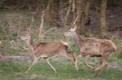 Red deer and hind running Stock Photography