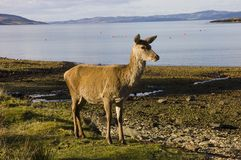 Red deer hind on the shore of Lochranza Royalty Free Stock Photo