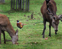 Red Deer Hind and Stag with Pheasant. Stock Photos