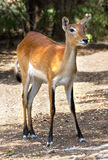 Red deer hind Royalty Free Stock Photos
