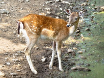 Red deer hind Royalty Free Stock Photography
