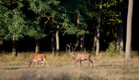 Red deer and hind Stock Image