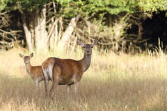 Red deer hind with young Royalty Free Stock Photography