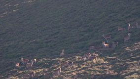 Red deer hinds, cervus elaphus, harem on a slope in cairngorms NP during rutting season.