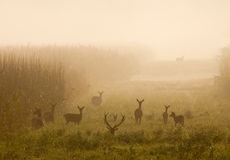 Red deer with hinds Royalty Free Stock Images