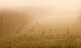 Red deer with hinds Royalty Free Stock Image
