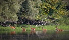 Red deer and hinds in river Royalty Free Stock Photo