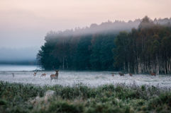 Red deer with his herd on foggy field in Belarus. Stock Photography