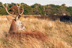Red Deer In Richmond Park Stock Photos