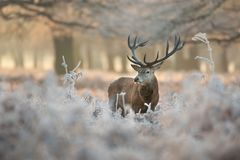 Free Red Deer In Winter Royalty Free Stock Photography - 80473237
