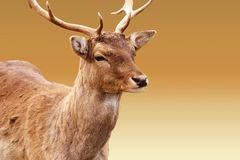 Red Deer isolated. The close-up and the head Portrait of an isolated deer stock photography
