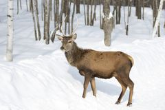 A Red deer isolated on white background feeding in the winter snow in Canada royalty free stock photography