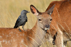 Red deer with jackdaw, Cervus elaphus Royalty Free Stock Images