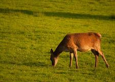 Red Deer. In Killarney National Park,Ireland Stock Photos