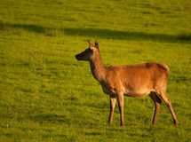 Red Deer. In Killarney National Park,Ireland Stock Photography