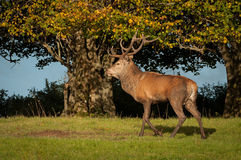 Red Deer. At Killarney National Park,Kerry,Ireland Royalty Free Stock Image