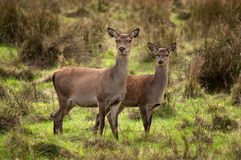 Red Deer. At Killarney National Park,Kerry,Ireland Royalty Free Stock Photo
